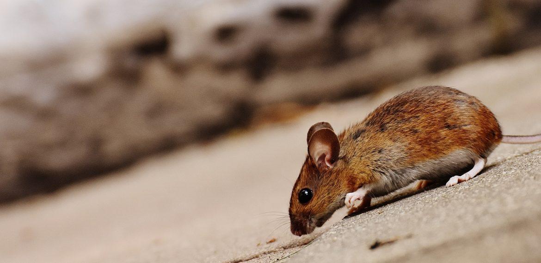 Se débarrasser des rats